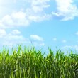View of the sky through the green grass - Stock Photo