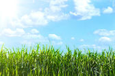View of the sky through the green grass — Stock Photo
