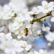 Bee on the flower of cherry - Stock Photo