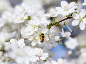 Bee on the flower of cherry — Stock Photo