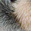 Stock Photo: Arctic fox fur closeup as background