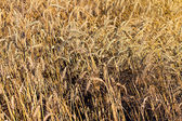 Ripe wheat ears close up as background — 图库照片