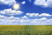 Vista del campo con girasoles florecientes — Foto de Stock