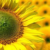 Veld met bloeiende zonnebloemen, zomer landschap — Stockfoto