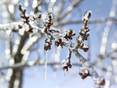 Icy tree branches in the sunlight — Stock Photo