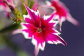 Petunia flowers closeup — Stock Photo