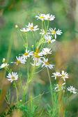 Květy heřmánku — Stock fotografie