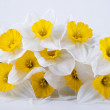 Spring daffodils - Stock Photo