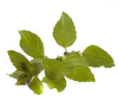 Mint on a white background — Stock Photo