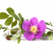 A branch of wild rose with a flower, isolated on white background — Stock Photo