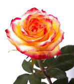 Rose, isolated on a white background — Stock Photo