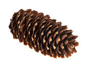 Pinecone on white background — Stockfoto