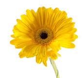 在白色背景上的黄太阳菊 — 图库照片