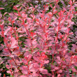 Stock Photo: Berberis thunbergii plant
