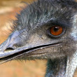 Closeup of Emu - Stock Photo