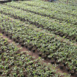 Stock Photo: Tomato seedlings in nursery