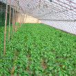 Pepper seedling in greenhouse vegetables on farm — Stock Photo #12692245