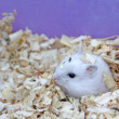 Hamsters — Stock Photo #12692740