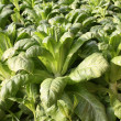 Green vegetables - lettuce — Stock Photo