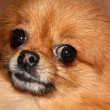 Stock Photo: Pet dog - pomeranian