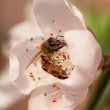 Bee gather nectar from flowers — Stockfoto #12692812