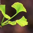 Ginkgo — Stock Photo #12693196