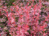 Berberis thunbergii plant — Stock Photo