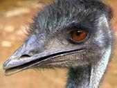 Closeup of Emu — Stock Photo