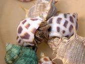 Kraby pustelniki — Zdjęcie stockowe