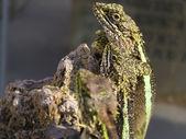 Chameleon — Foto Stock