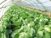 Cabbage vegetables in arch shed, China — Stock Photo