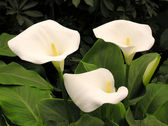 Calla lily flower — Stock Photo