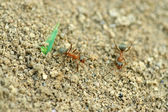 Mercerized brown forest ants — Photo