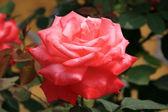 Chinese rose — Stock Photo