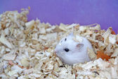 Hamsters — Stock Photo