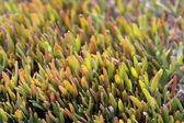Plevel sazenice — Stock fotografie