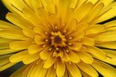 Löwenzahn Blumen in freier Wildbahn — Stockfoto