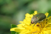 Cockchafer on a flower in the wild — Stock Photo