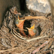 Red-tailed robin nestling — Stock Photo