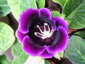 Gloxinia květiny v přírodě — Stock fotografie