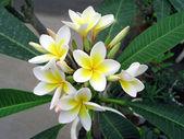 White simeon gardenia flowers — Stock Photo