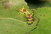 Lepidoptera — Stockfoto