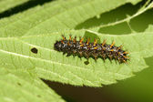Butterfly larvae — Stock Photo