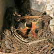 Stock Photo: Red-tailed robin nestling