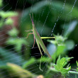 Locust trapped in web — Stock Photo #16221135