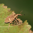 Weevil — Photo