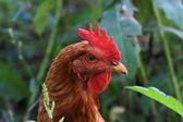 Chicken head — Stock Photo