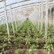 Vegetable greenhouses - Stock Photo