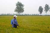 Spraying pesticide farmers in the rice cropland — Stock Photo