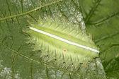 Close up van lepidoptera — Stockfoto